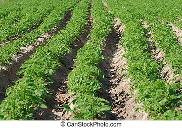 Potato field in green period before blooming. Focus on middle plane.