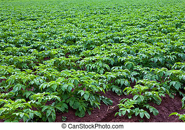 potato plants - rows of green potato plant in field
