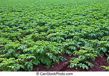 potato plants - rows of green potato plant in field