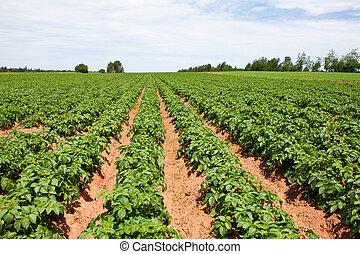 Potato plants - Rows of young potato plants on a sunny...