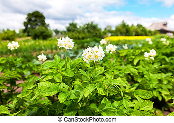 Potato plants with flowers at the plantation in sunny summer day