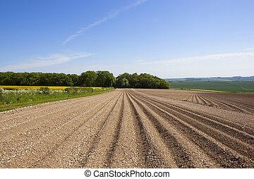potato rows in Summer