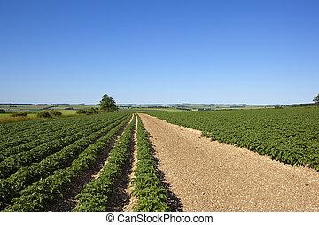 potato rows on chalky soil