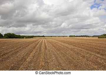 potato rows