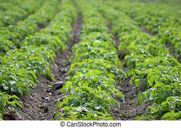 Potato Rows - Rows of potato plants
