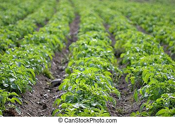 Potato Rows - Rows of potato plants