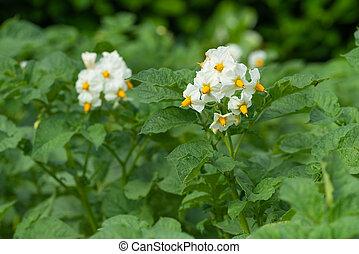 Blossom of potato plant (Solanum tuberosum)