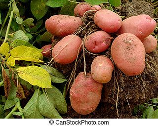 potato tubers - potato plant with tubers digging up from the...