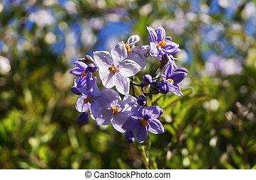 Potato Vine Flower Solanum jasminoides
