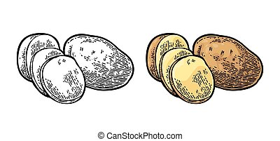 Potato whole and slice. Vector engraving vintage