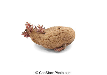 potato with pink shoots isolated on white background