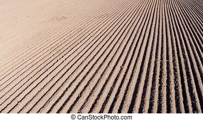 Potato young field. Furrows. Fly camera. - Potato young...