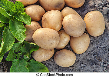 Potatoes and leaves on the ground.