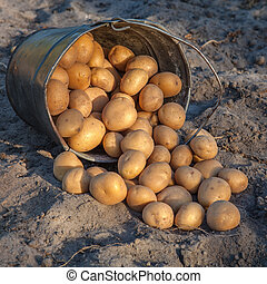 Potatoes are poured out of a bucket on the ground.