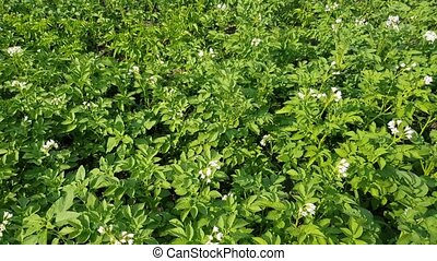 potatoes bushes blooms - many green potato bushes grow in...