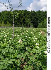 Potatoes field on summer
