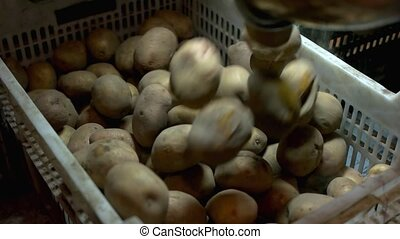Potatoes Flowing Into The Pile. Top view potatoes falling...