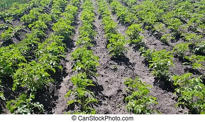 potatoes grow in beds - young bushes of potatoes in the...