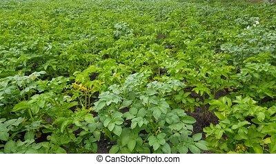 potatoes grow in the garden green