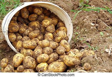 Potatoes in a bucket