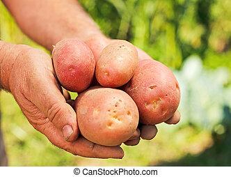 Potatoes in hands