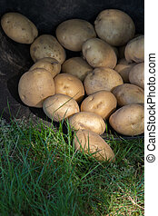 potatoes in the cauldron of harvest, agriculture