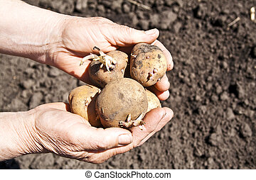 Potatoes lying in the hands of a woman on ground background,...