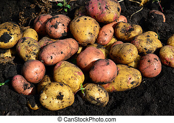 Potatoes of different varieties lie on ground - Potatoes of...