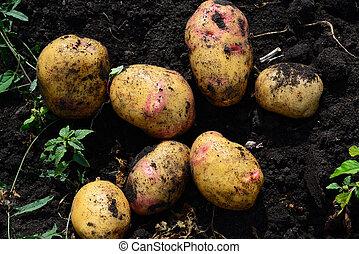 Potatoes of early varieties lie on ground - Potatoes of...