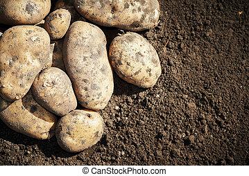 Potatoes on the ground - fresh organic bio potatoes...