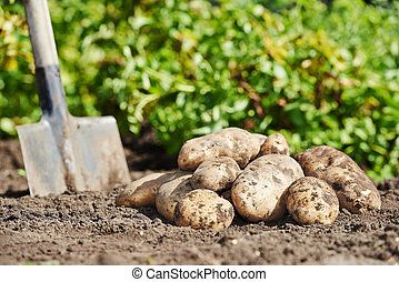Potatoes on the ground - fresh organic potatoes vegetable in...