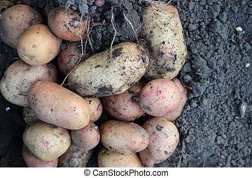 Potatoes on the ground - Freshly dug potatoes lying on the...