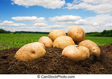 Potatoes on the ground under sky - Potatoes on the ground...