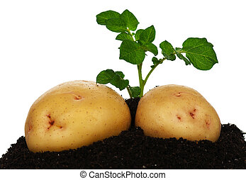 Potatoes with sprout - Young potatoes with sprout on the...