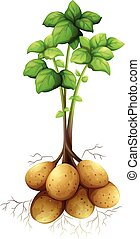 Potatoes with the stem and leaves illustration