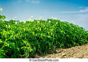 potatos field and sunny summer day