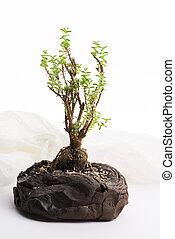 pote, suculent, branca, pequeno, fundo, bonsai, planta