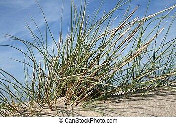 potencia, hierba de la playa