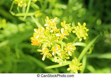 Potherb Mustard flower (Brassica japonica) in Japan