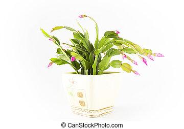 Potplant on white background