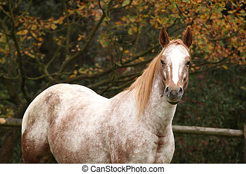 Potrait of beautiful appaloosa mare in autumn