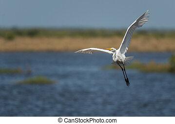Potrait of the Great egret (Ardea alba)