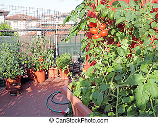 pots in the balcony garden with tomato plants in the house