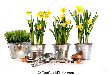 Pots of daffodils with garden tools on white
