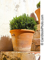 Pots with cypressm