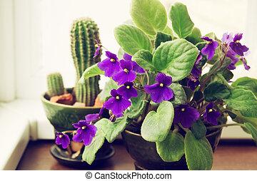 potted, cacto, violeta africana