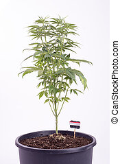 Potted cannabis plant on the 5th week of growth isolated on white