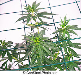 Potted cannabis plant over white background with grid - medical marijuana concept