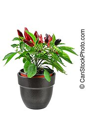 Potted chili plant
