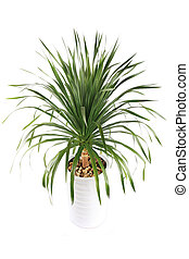 potted dracaena - evergreen plant dracaena angustifolia with...